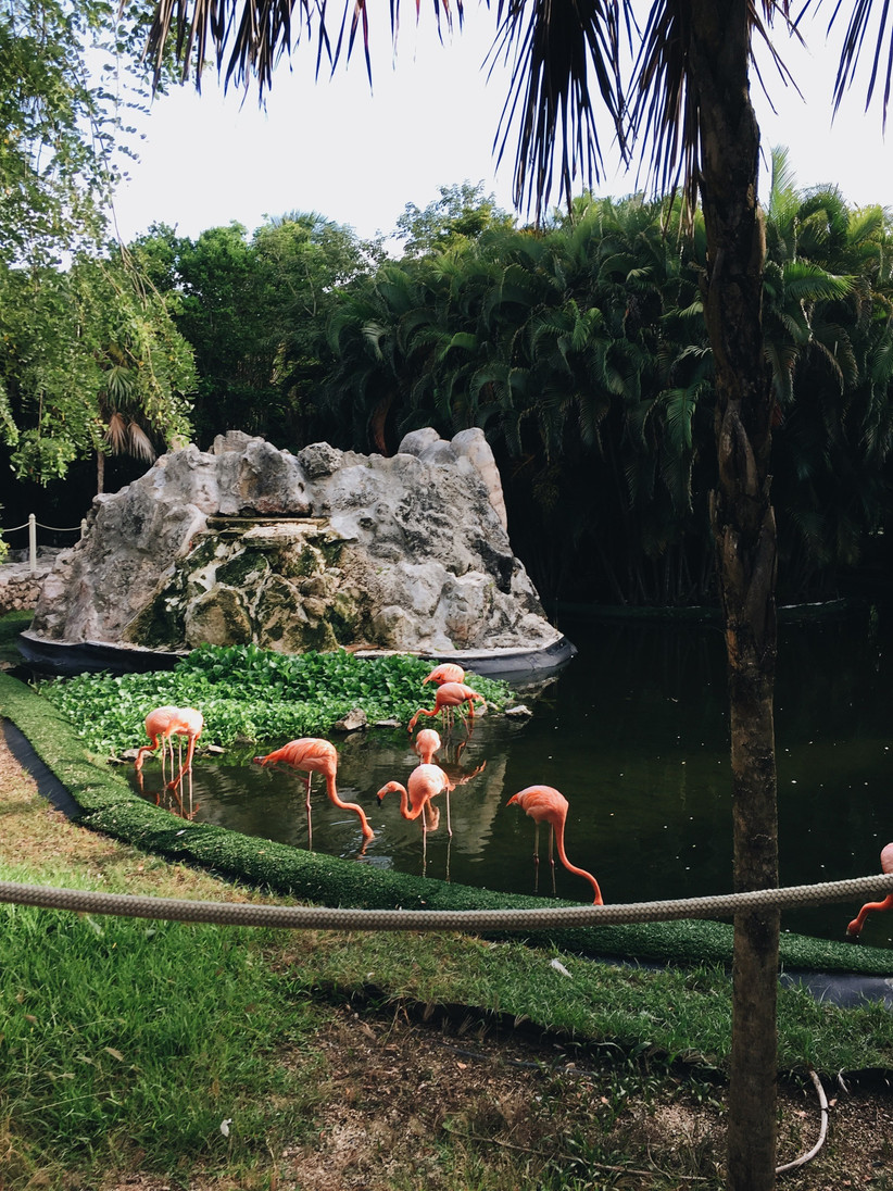 Flamingos in a pool next to grass with a rock behind them