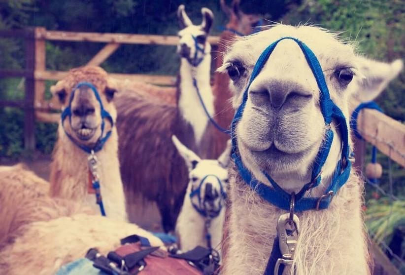 llama-trekking-hen-party-2