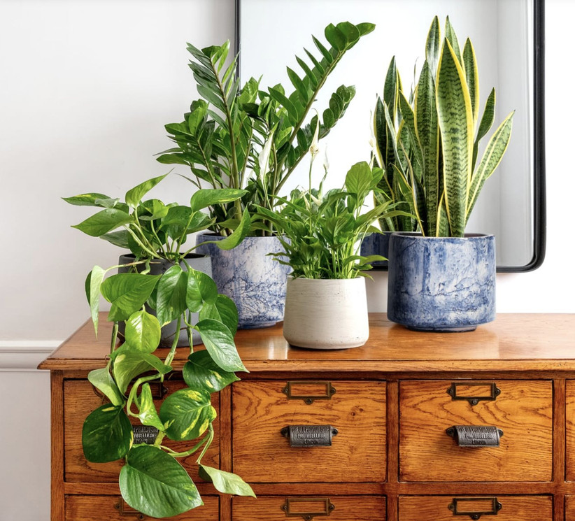 Four green leafy plants in white and blue pots on top of a wooden chest of drawers with a mirror behind them