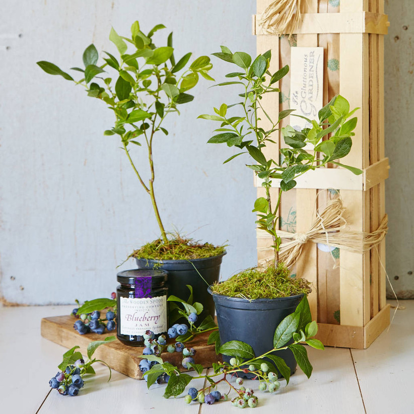 Blueberry Jam kit with bushes and wooden crate