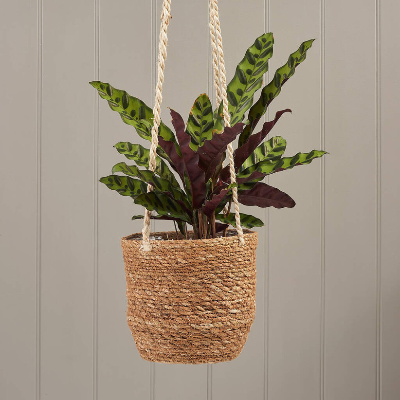 hanging pot plant