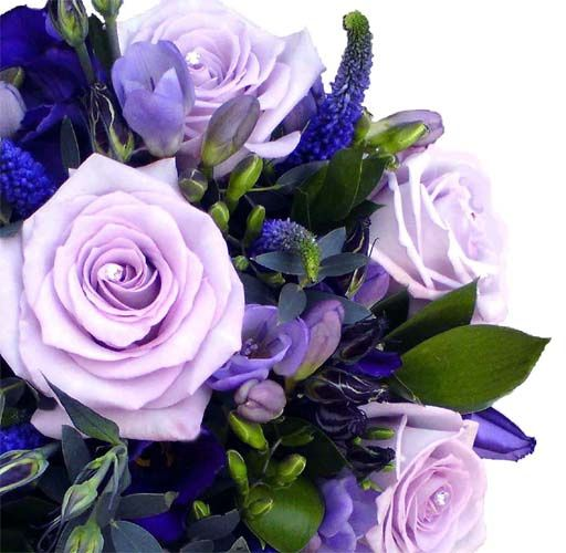 Blue pacific roses