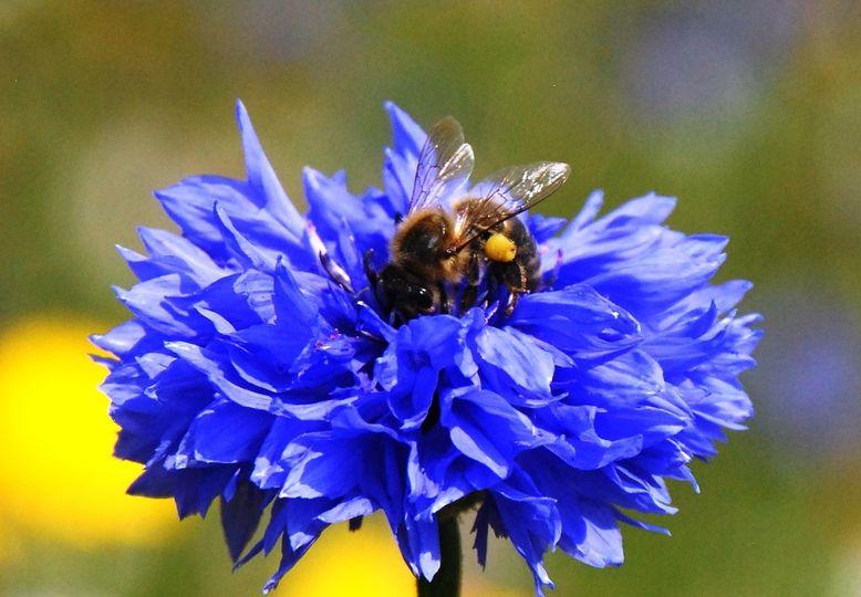 Bee visiting a Cornflower