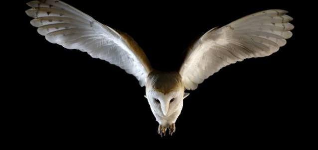 Mystic the barn owl