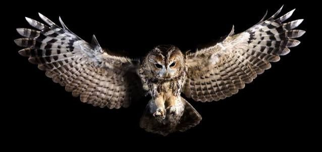 Percy the Tawny owl