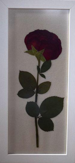 Pressed red rose