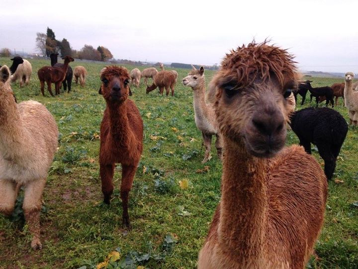 Something Different Charnwood Forest Alpacas 2