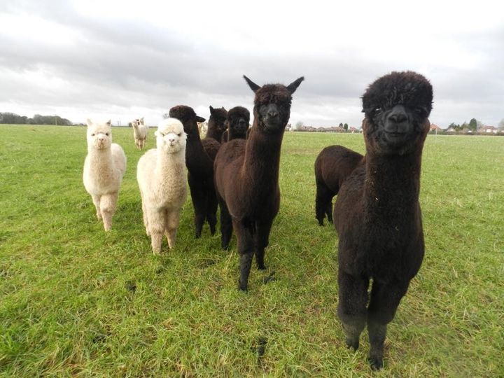 Something Different Charnwood Forest Alpacas 3