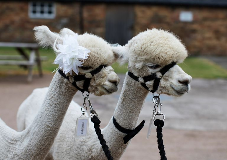 Something Different Charnwood Forest Alpacas 5