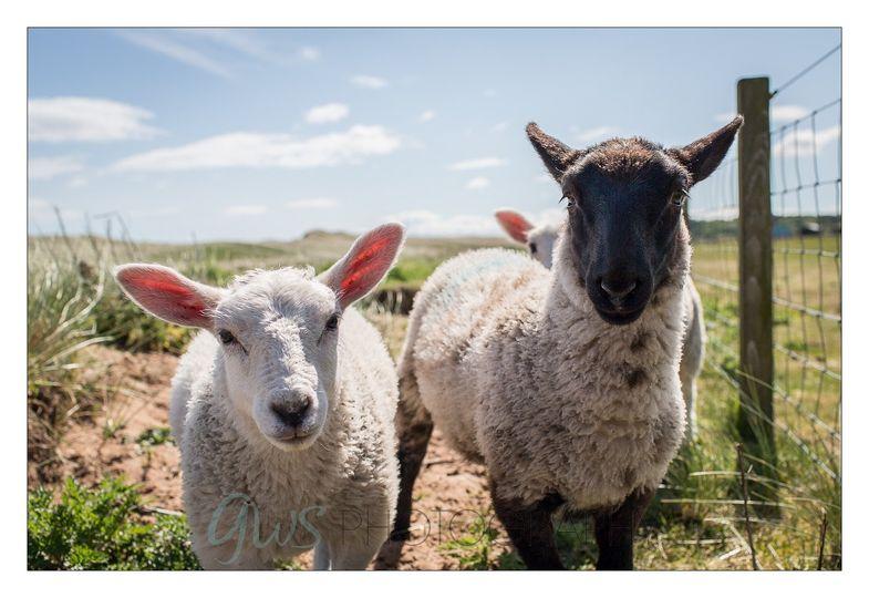Happy sheep in the sunshine