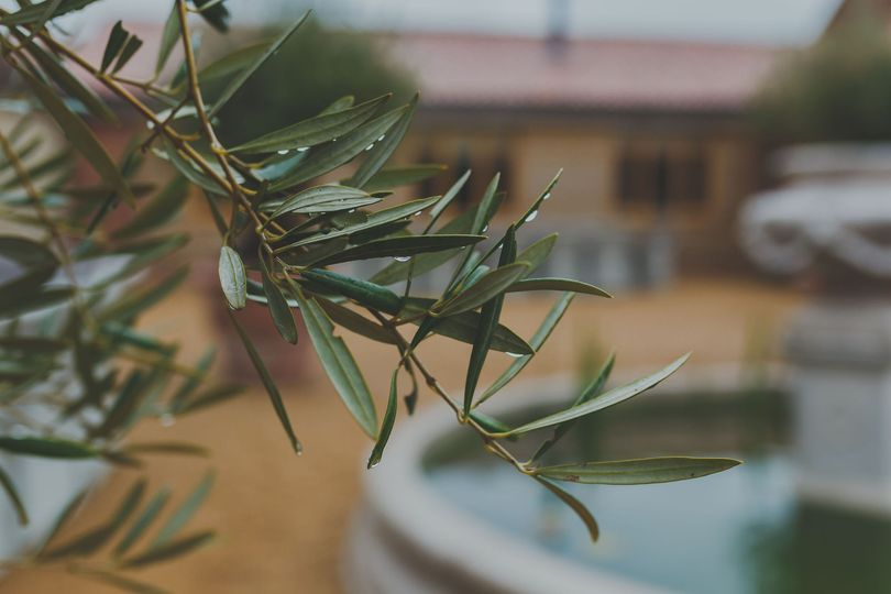 Courtyard Olive