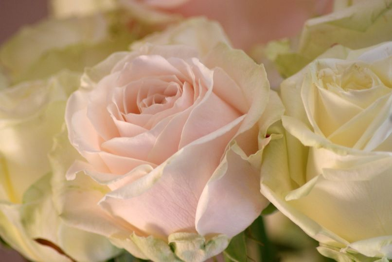 bunch avalanche roses 4 106699