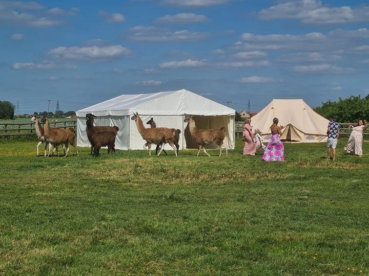 Llamas with guests