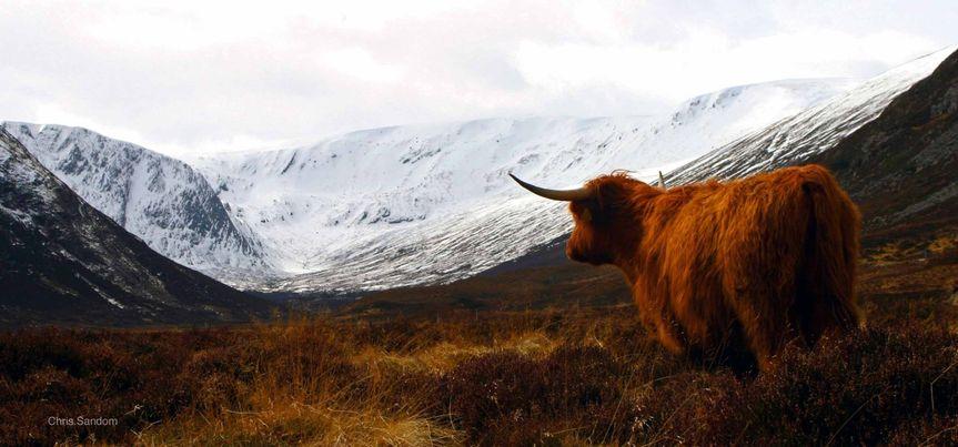 Scottish Highlander enjoying the view