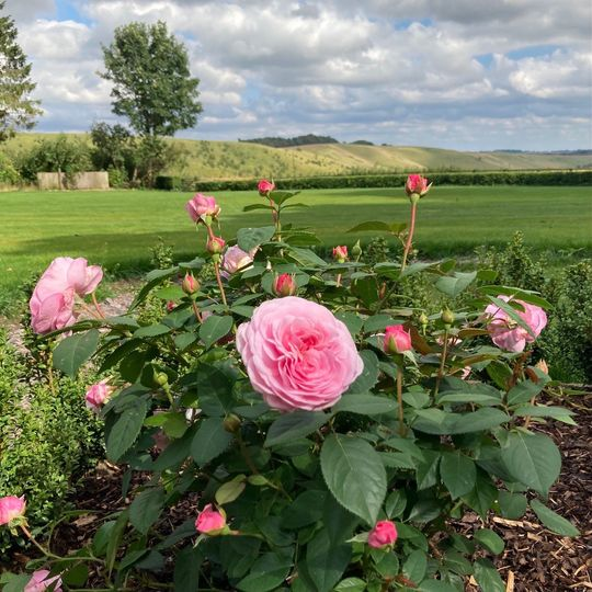 Roses in August