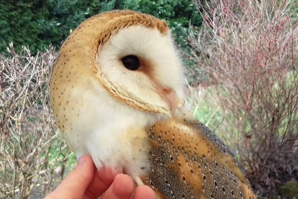 Luna, our barn owl