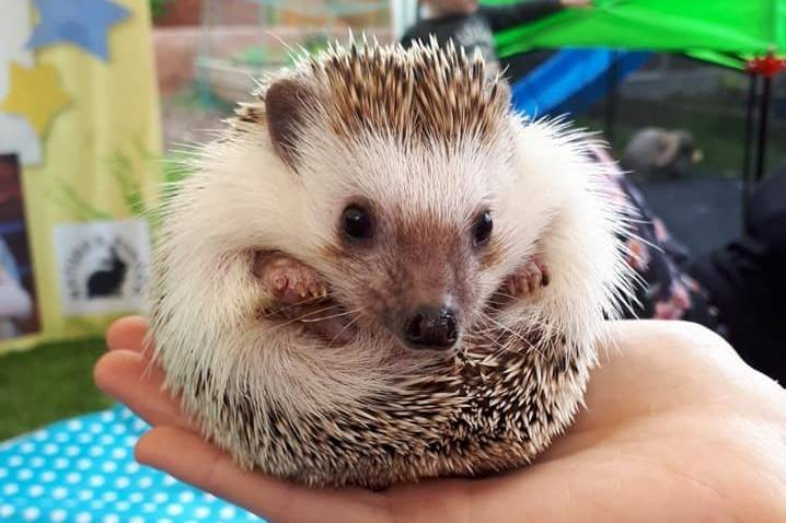 Willow, one of our hedgehogs