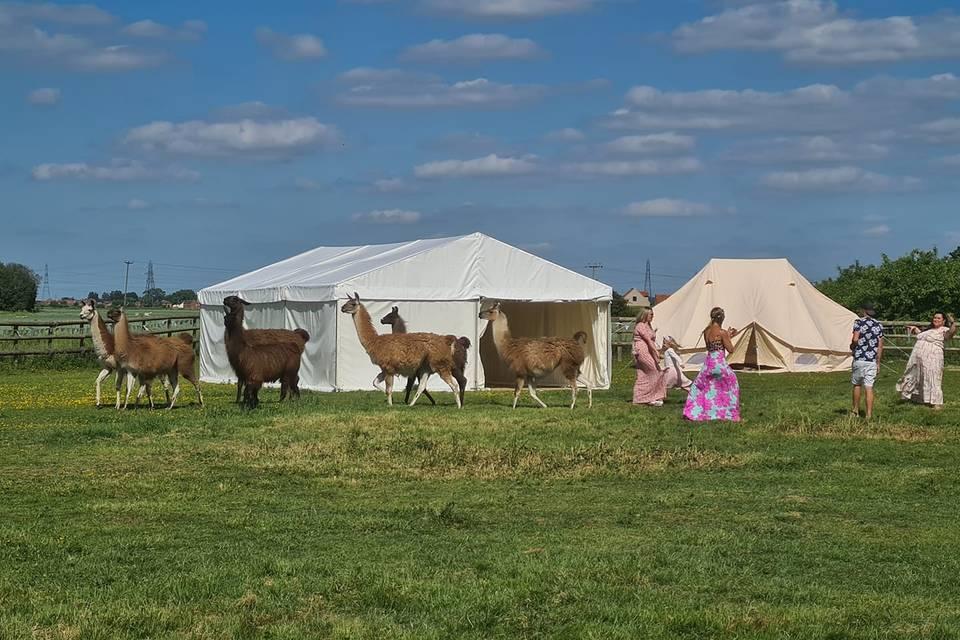 Llamas as VIP guests!