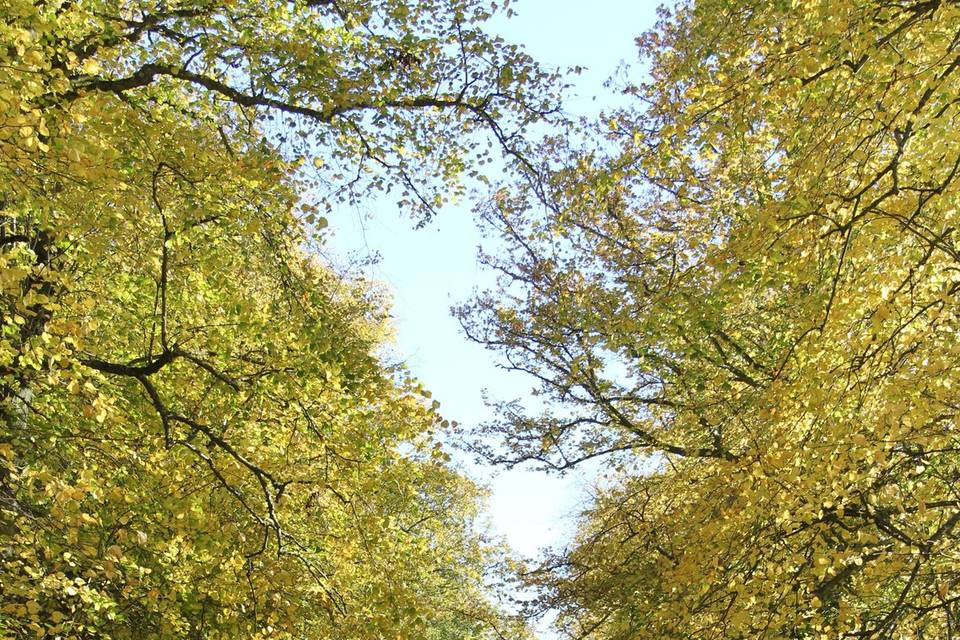 Duns Castle - Avenue of Lime Trees